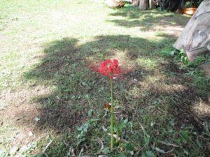 ヒガンバナ