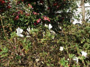 ツツジの花