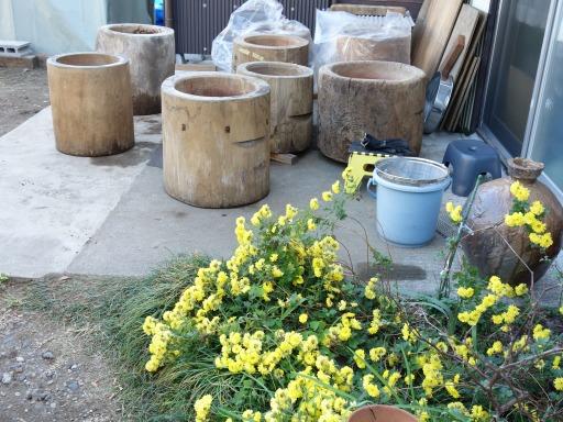 臼修理の脇の黄色い菊の花1