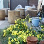 臼修理と黄色い菊の花