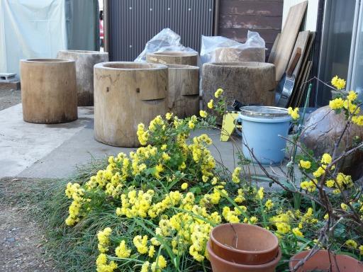 臼修理の脇の黄色い菊の花2